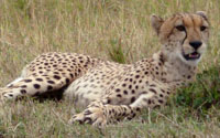 Cheetah | Travel Notes Newsletter